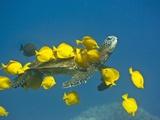 Green sea turtle with passengers Fotografie-Druck von Tim Davis