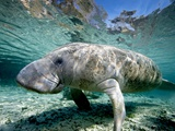 Florida Manatee Photographic Print by Stephen Frink