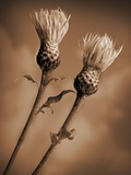 Two Bachelor Buttons Ready to Bloom Photographic Print by Tom Marks