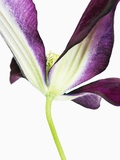 Clematis flower Photographic Print by Frank Krahmer