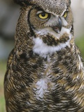 Great Horned Owl, Bubo Virginianus, British Columbia, Canada. Photographic Print by Ian McAllister