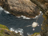Northern Fulmar diving off cliff over water Photographic Print by Andrew Parkinson