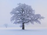 Oaks in winter landscape Photographic Print by Hans Strand