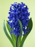 Blue Star hyacinth Fotografisk tryk af Clive Nichols