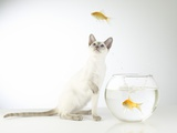 Siamese kitten with jumping goldfish Photographic Print by Steve Lupton