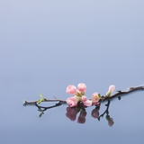 Cherry blossoms on water Photographic Print by John Smith