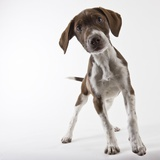 German shorthaired pointer puppy Photographic Print by Michael Kloth