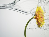 Water Splashing Daisy Lmina fotogrfica por Biwa