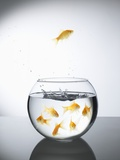 Goldfish jumping out of a bowl and escaping from the crowd Lmina fotogrfica por Steve Lupton