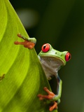 Red-eyed tree frog on leaf Photographic Print by Paul Souders