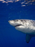 Great White Shark Photographic Print by Stephen Frink