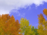 Quaking aspens in fall colors in Grand Teton National Park Photographic Print by John Eastcott & Yva Momatiuk
