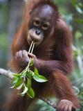 Sub adult male orangutan Photographic Print by Theo Allofs