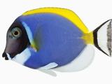 Powder blue tang Photographic Print by Martin Harvey