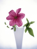 Purple clematis Photographic Print