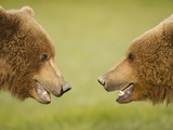 Brown Bears Facing Off at Hallo Bay Photographic Print by Paul Souders