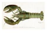 American Lobster (Homarus Americanus Giclee Print by Sherman Foote Denton