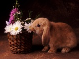 Bunny Smelling Basket of Daisies Photographic Print by Don Mason