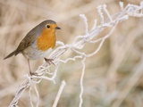 European robin perched on frost covered grass Photographic Print by Andrew Parkinson