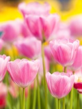 Light pink tulips Fotografie-Druck von Frank Lukasseck