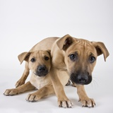 Tan Mastiff puppies Photographic Print by Michael Kloth