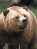 Grizzly Bear (Ursus Arctos), Glendale Cove, Knight Inlet, British Columbia, Canada. Photographic Print by Keith Douglas