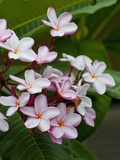 Pink frangipani in bloom Photographic Print by Bob Krist