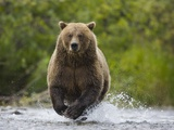 Brown bear running to catch salmon in a river Photographic Print by Theo Allofs