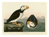 Large Billed Puffin Reproduction procédé giclée par John James Audubon