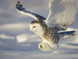 Snowy Owl in Flight Hunting Photographie par Theo Allofs