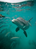 Atlantic bottlenose dolphin Photographic Print
