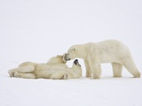 Polar Bears Playing Photographic Print by John Conrad
