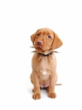 Fox red labrador puppy wearing large spiked collar Photographic Print by Martin Gallagher