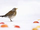 Fieldfare standing among apples in the snow Photographie par Andrew Parkinson