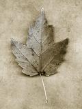 Maple Leaf Fotografisk tryk af John Kuss