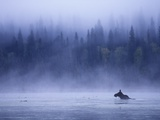 Moose Swimming in Bowron Lake Provincial Park, British Columbia, Canada. Fotografisk tryk af Chris Harris