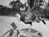 Side profile of a turkey and axe on a tree stump Photographic Print