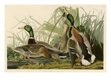 Mallard Duck Lmina gicle por John James Audubon