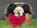 Black and yellow labrador retriever puppies in basket with red bow Photographic Print by Ron Dahlquist