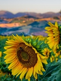 Sunflower, Camerino Photographic Print by Maurizio Rellini