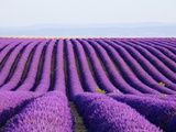 Lavender field in bloom Photographie par Frank Lukasseck
