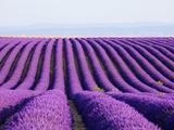 Lavender field in bloom 写真プリント : フランク・ルクセック