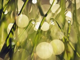 Leaves of grass with dew drops Photographic Print by Frank Krahmer