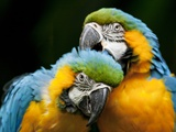 Blue-and-gold Macaws at Zoo Ave Park Fotografie-Druck von Paul Souders
