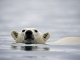 Swimming Polar Bear at Half Moon Island in Svalbard Photographic Print by Paul Souders