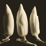 Three Magnolia Buds Photographic Print by Tom Marks