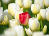 Red tulip in a field of white tulips Photographie par Craig Tuttle