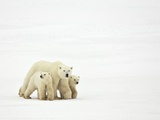 Mother and Cubs Walking Photographic Print by John Conrad