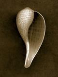 Graceful Fig Shell 2 Papier Photo par John Kuss