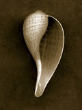 Graceful Fig Shell 2 Photographic Print by John Kuss